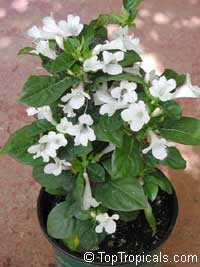 Barleria cristata Alba - White Philippine Violet  Click to see full-size image