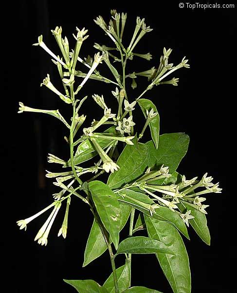 Cestrum Nocturnum, Night Blooming Jasmine, Queen Of The
