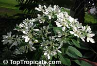 Euphorbia leucocephala, Pascuita, Snows of Kilimanjaro, White Small Leaf Poincettia, Snow Bush, White-laced euphorbia, Snow Flake, Poinsettia  Click to see full-size image