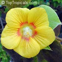 Abutilon chiappardi (Bakeridesia integerrima) - Canary   Tree