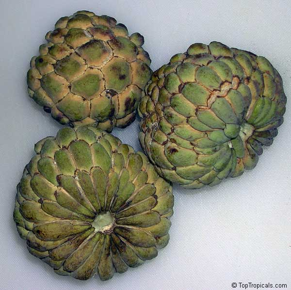 Annona squamosa, Sugar Apple, Custard Apple, Sweetsop-Anon ...