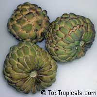 Annona squamosa, Sugar Apple, Custard Apple, Sweetsop-Anon, Sweetsop, Atis, Sitafal, Seetha Payam, Araticum, Sharifa  Click to see full-size image