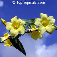 Gelsemium Sempervirens Yellow Jessamine Carolina Jasmine Yellow