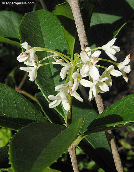 044406458 Osmanthus fragrans, Olea fragrans, Olea ovalis, Osmanthus longibracteatus,  Osmanthus macrocarpus, Tea