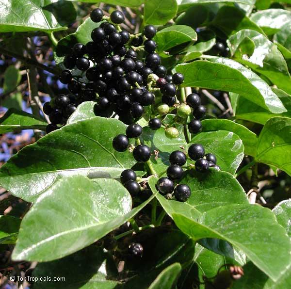 Cissus sicyoides, Cissus verticillata, Possum Grape Vine