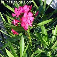 Nerium oleander, Oleander  Click to see full-size image
