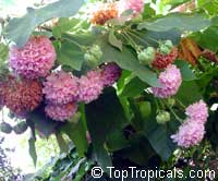 Dombeya wallichii, Dombeya cayeuxii, Dombeya acutangula, Pink Ball Tree, Tropical HydrangeaClick to see full-size image