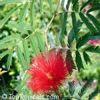 Calliandra tweedii, Inga pulcherrima, Red Tassel Flower  Click to see full-size image