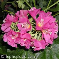 Dombeya seminole - Tropical Rose HydrangeaClick to see full-size image