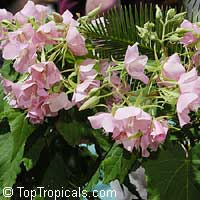 Dombeya elegans, Pink Cloud, Mahot RoseClick to see full-size image
