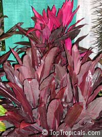 Cordyline fruticosa - Auntie Lou  Click to see full-size image