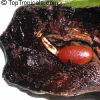 Diospyros digyna, Diospyros obtusifolia, Black Sapote, Chocolate Pudding Fruit, Black/Chocolate Persimmon