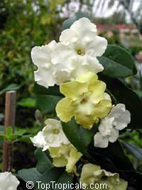 Brunfelsia lactea - Lady of the night  Click to see full-size image