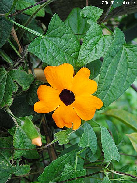 Thunbergia Alata Black Eye Susan Toptropicals Com