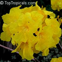 Tabebuia chrysotricha - Dwarf Golden Tabebuia  Click to see full-size image