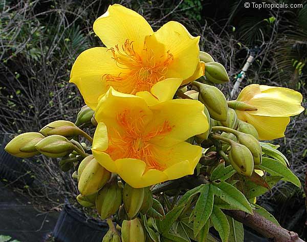 tropical plant catalog   toptropicals