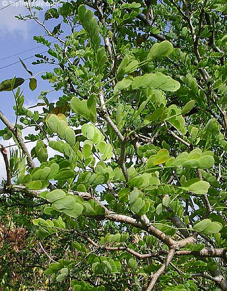 Pithecellobium ebano ebenopsis ebano texas ebony ebony blackbead