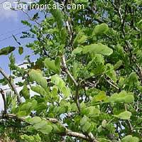 Pithecellobium ebano, Ebenopsis ebano, Texas Ebony, Ebony Blackbead, Apples Earring  Click to see full-size image