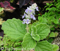 Plectranthus hadiensis tomentosus - Camphor Basil  Click to see full-size image