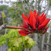 Erythrina arborescens - seeds  Click to see full-size image
