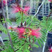 Calliandra houstoniana, Tree Calliandra, Powderpuff  Click to see full-size image