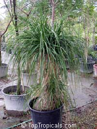 Beaucarnea recurvata, Nolina recurvata, Ponytail Palm, Pony Tail, Bottle Palm, Nolina, Elephant-foot Tree  Click to see full-size image