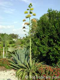 Agave tequilana, Tequila Agave, Century Plant  Click to see full-size image