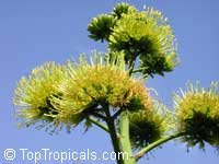 Agave tequilana, Tequila Agave, Century PlantClick to see full-size image