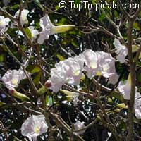 Tabebuia roseoalba, White Trumpet tree  Click to see full-size image