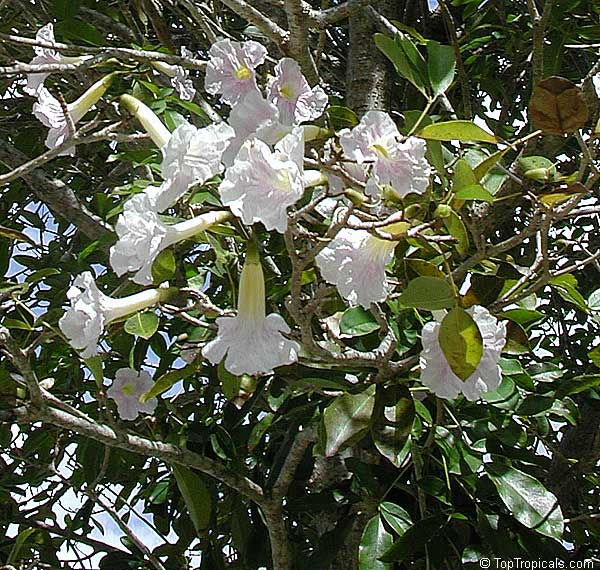 Tabebuia roseoalba white trumpet tree toptropicals tabebuia roseoalba white trumpet tree click to see full size image mightylinksfo