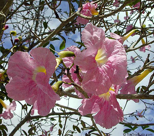 Toptropicals rare plants for home and garden tabebuia heterophylla pink trumpet tree click to see full size image mightylinksfo