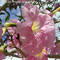 Tabebuia heterophylla - Pink trumpet tree  Click to see full-size image