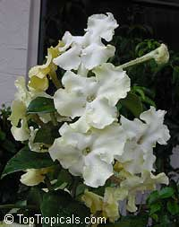 Brunfelsia gigantea, Lady of the Night