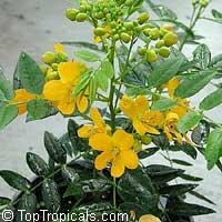 Cassia bahamensis, Senna mexicana chapmanii, Bahama Senna, Bahama Cassia  Click to see full-size image