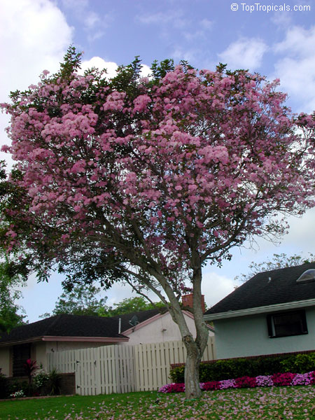 Tropical plant catalog toptropicals tabebuia heterophylla pink trumpet tree click to see full size image mightylinksfo