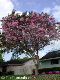 Tabebuia heterophylla, Pink Trumpet Tree  Click to see full-size image