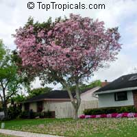 Tabebuia heterophylla, Pink Trumpet Tree