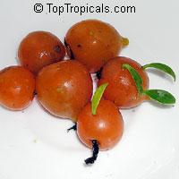 Perescia aculeata - Barbados Gooseberry  Click to see full-size image
