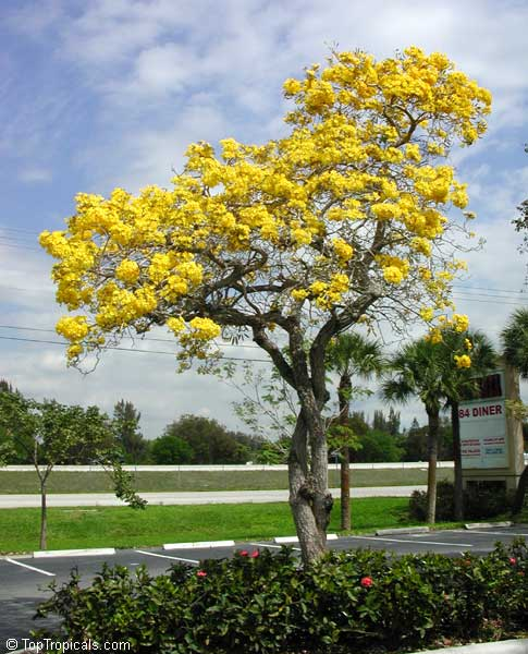 Tabebuia caraiba tabebuia argentea silver trumpet tree tabebuia caraiba tabebuia argentea silver trumpet tree click to see full size image mightylinksfo