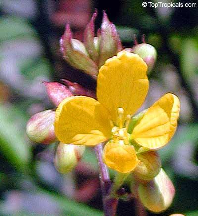 Cassia Occidentalis Senna Occidentalis Cassia Ligustrina