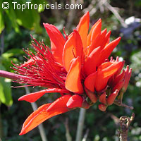 Erythrina indica, Coral Tree, Sunshine Tree