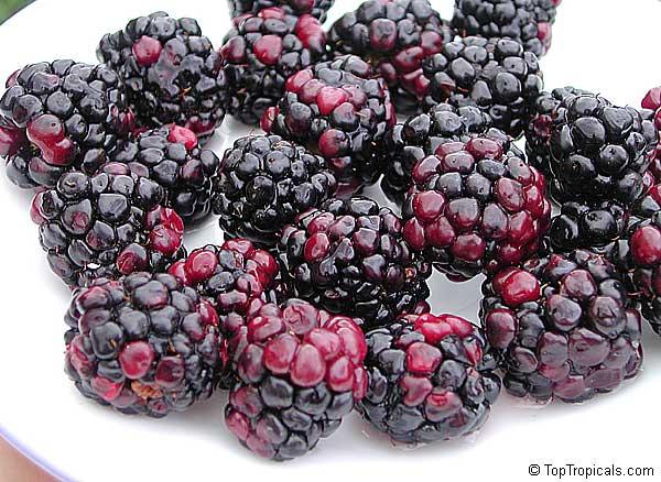 Rubus Hybrid Brazos Blackberry Black Raspberry