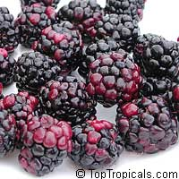 Rubus hybrid, Brazos Blackberry, Black Raspberry