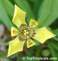 Neomarica longifolia - Yellow Walking Iris  Click to see full-size image