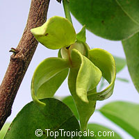 Artabotrys hexapetalus - Ylang Ylang vine  Click to see full-size image