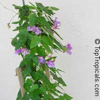 Vigna speciosa, Snail Vine