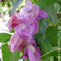 Vigna speciosa - Snail Vine  Click to see full-size image