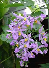 Solanum seaforthianum, Brazilian Nightshade, St. Vincent Lilac, Glycine, Italian Jasmine, Potato Creeper  Click to see full-size image