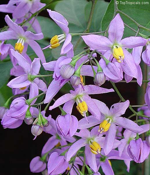 Solanum seaforthianum,...