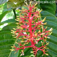 Palicourea corniculata, Cappel  Click to see full-size image
